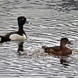 Whispering Peaks Photography - Ring Necked Duck- Pair