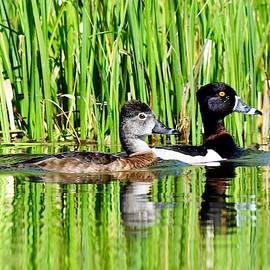 Ring Necked Ducks by Dana Hardy