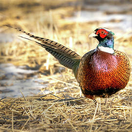 Ring-necked Pheasant Portrait by Judi Dressler