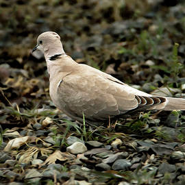 Ringed Turtle Dove by Tracie Fernandez