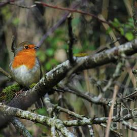 European Robin 10 Donegal Ireland by Eddie Barron