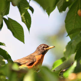 Robin in a Cherry Tree by Peggy Collins