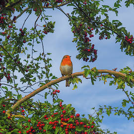 Robin in a Hawthorn Tree by Angie C