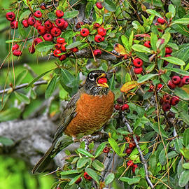 Robin in Red Berry Bush 2  by Linda Brody