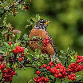 Robin in Red Berry Bush 3 by Linda Brody