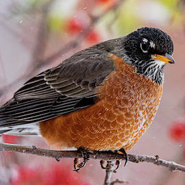 Robin's First Snow Day by Connie Allen
