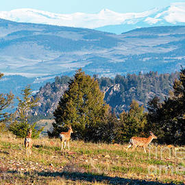 Rocky Mountain Deer Herd by Steve Krull