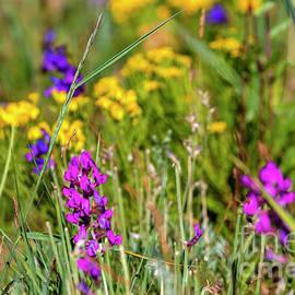 Rocky Mountain Wildflowers by Steve Krull