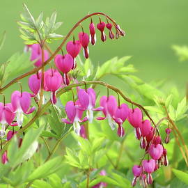 Romantic Bleeding Heart Flower by Lyuba Filatova