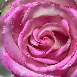 Rose After The Rain by Sandi Kroll