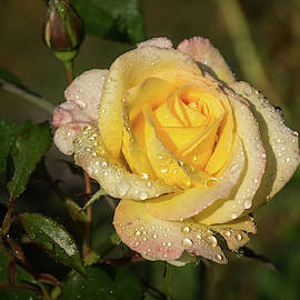 Georgia Mizuleva - Rose and Rain - a Gleaming Fragrant Blend of Yellow and Pink