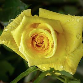 Rose And Rain - Cyber Yellow Rosebud by Georgia Mizuleva