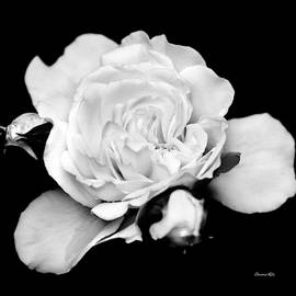 Rose Black and White by Christina Rollo