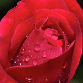 Rose Bud - Double Knock Out Rose by Cindy Treger