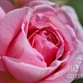 Rose Dazzling In Pink by Joy Watson