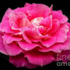 Rose in Pink by Sabrina L Ryan
