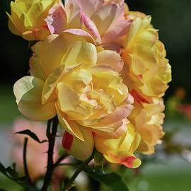 Rose Lampion by Jouko Lehto