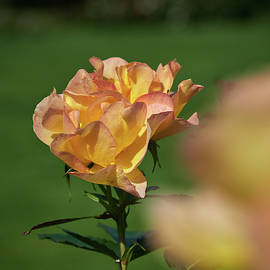 Rose Morden Sunrise by Jouko Lehto
