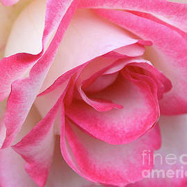 Rose No. 62 by Ron Long