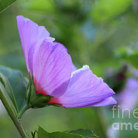 Rose Of Sharon Peace by Karen Adams