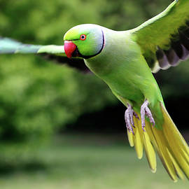 Rose Ringed Parakeet by Nicholas Blackwell