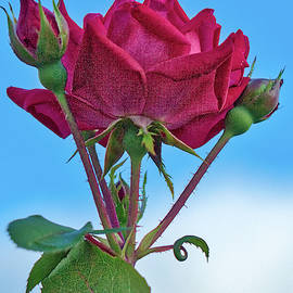 Rose With Buds by Jerry Gammon