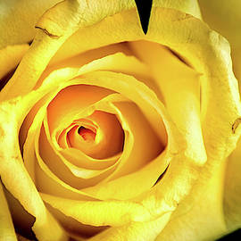 Rose-Yellow by Don Johnson