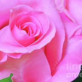 Roses in Pink Portrait by Regina Geoghan