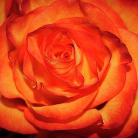 Roses by Todd Dunham