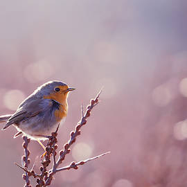 Rouge-Gorge or European Robin in Winter modus by Roeselien Raimond