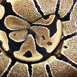 Royal Ball Python by Photo By Frank Lundburg