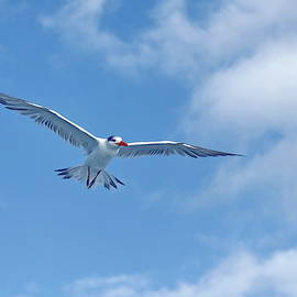 Royal Tern In Flight Against Blue Sky  by Lyuba Filatova