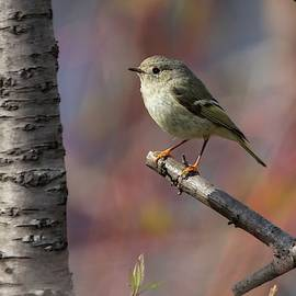 Ruby-crowned Kinglet in Spring by Marlin and Laura Hum