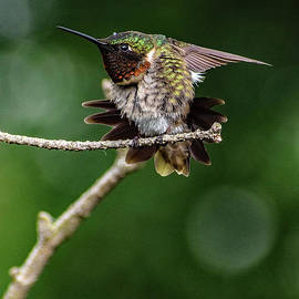 Ruby-throated Hummingbird And The Lone Raindrop by Cindy Treger
