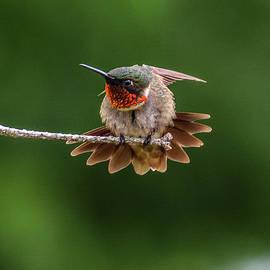 Ruby-throated Hummingbird Behavior by Cindy Treger