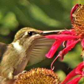 Ruby Throated Hummingbird Getting Flower Nectar       July       Indiana by Rory Cubel