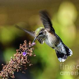 Ruby-throated Hummingbird's Final Bow by Cindy Treger