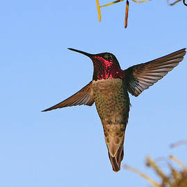 Ruby-Throated by Shoal Hollingsworth