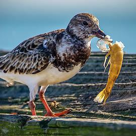 Ruddy Turnstone enjoying some shrimp for lunch by TJ Baccari