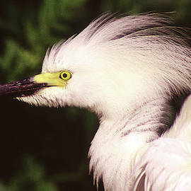 Ruffled Great Egret by Jerry Griffin