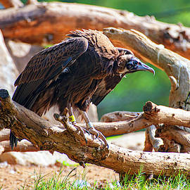 Ruppell's Vulture by Anthony Jones
