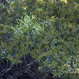 Sagebrush Flowers in El Dorado National Forest by PROMedias