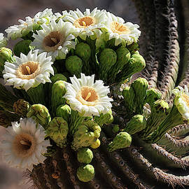 Saguaro Blossoms Abloom  by Saija Lehtonen