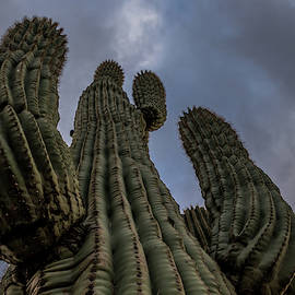 Saguaro Cactus by Blue Owl Photography