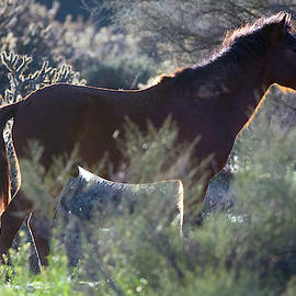Salt River Wild Horse 5146-022619 by Tam Ryan