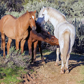 Salt River Wild Horses 5162-022619 by Tam Ryan