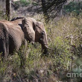 Samburu Elephant by Steve Somerville