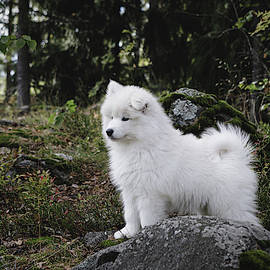 Samoyed dog puppy in the forest by Juhani Viitanen