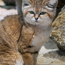 Sand Cat by Arterra Picture Library