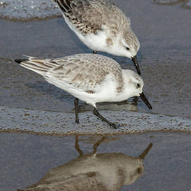 Bruce Frye - Sanderlings on the Shore